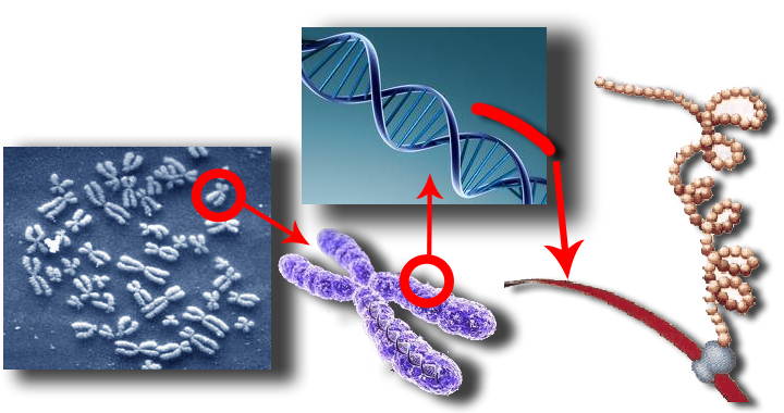 Сохраняет в клетках генетическую информацию