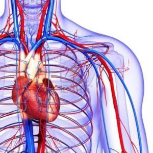 Сосуды и кровеносная система
