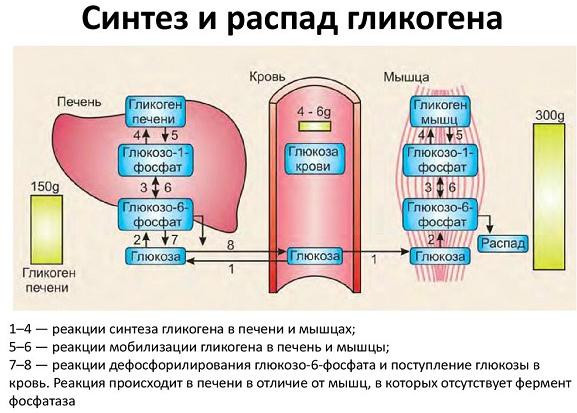 Синтез глюкозы печенью