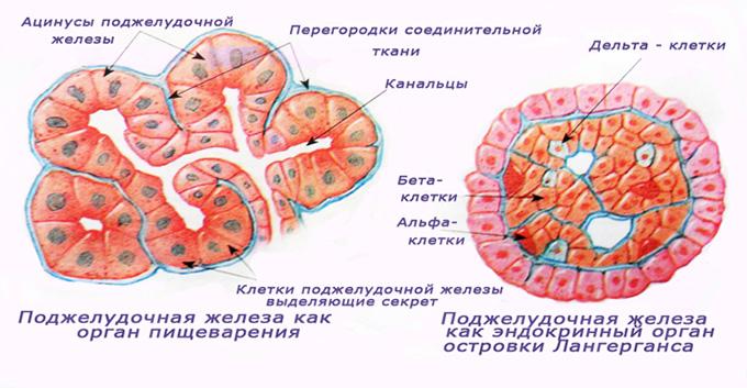 Малодифференцированные клетки и панкреатические островки