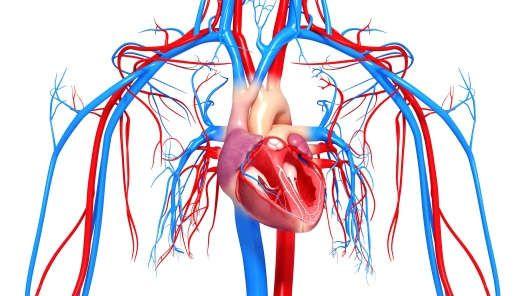 Позитивно влияет на ЦНС, сердце, сосуды