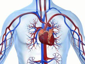 Способствует укреплению сердечно-сосудистой системы