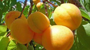 Курагу получают из абрикос