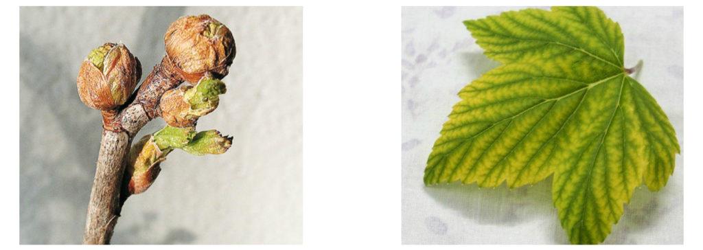 Почки и листья смородины