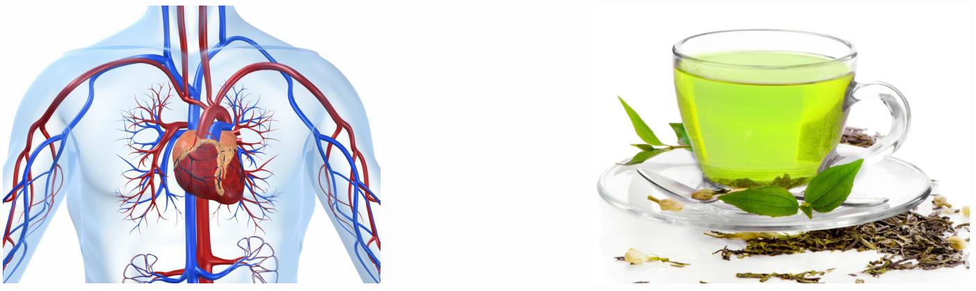 Действие зеленого чая на сердечно-сосудистую систему