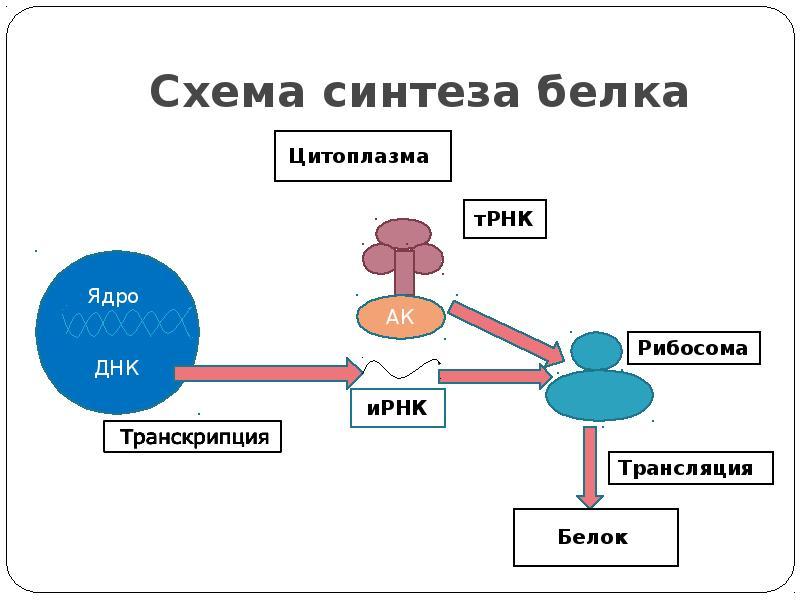 Синтез белка