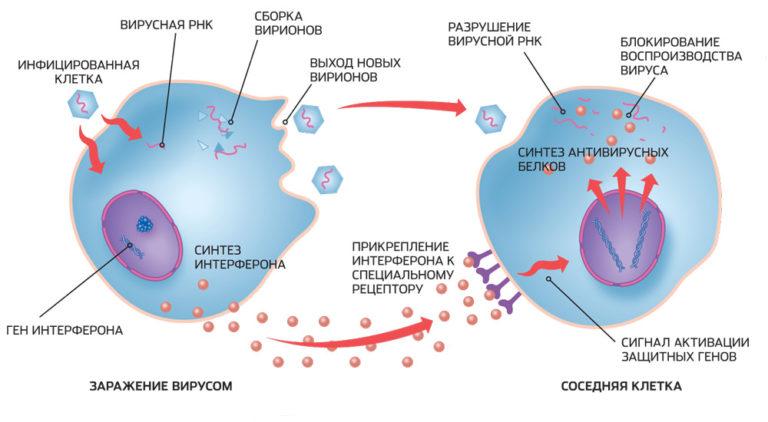 Иммуномодулирующий эффект