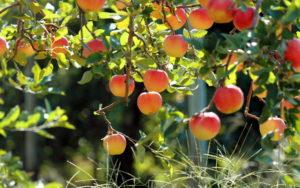 Яблоня в саду при диабете