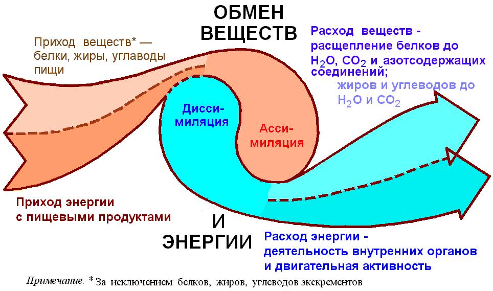 Как называется обмен веществ в организме