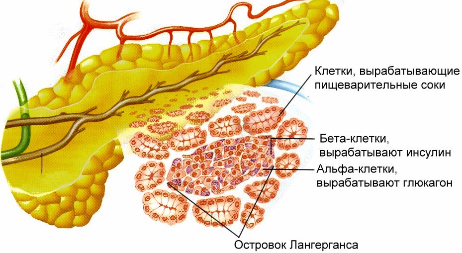 Всасывания сахара и глюкозы в кишечник