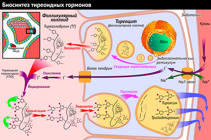 Биосинтез тиреоидных гормонов.