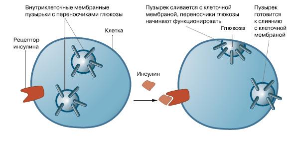 Образование инсулин-рецепторов