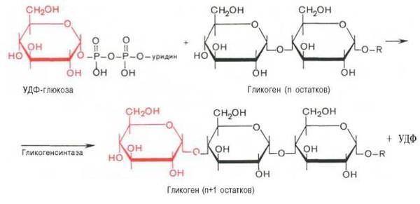 Усиление активности липогенеза и гликогенеза