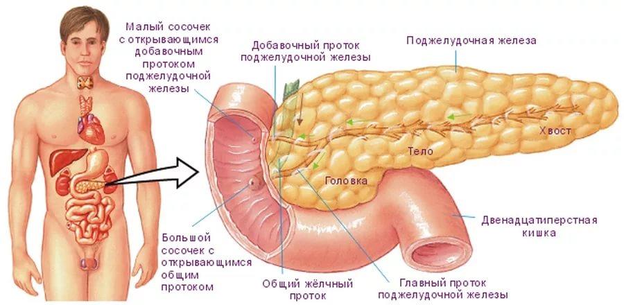 Какой орган вырабатывает инсулин в организме человека? Синтез