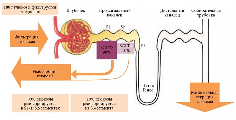 Внутриклеточного транспорта глюкозы