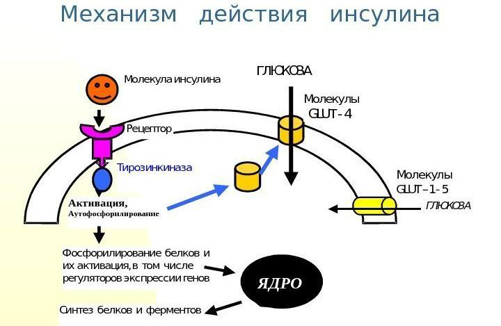 Стимулирует фосфорилирование клеточных белков