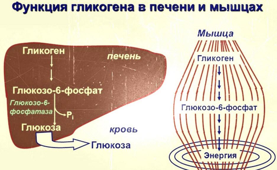 Роль гликогена