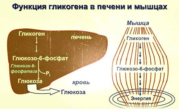 Гликоген в печени