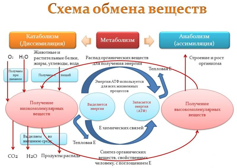 Процессы метаболизма